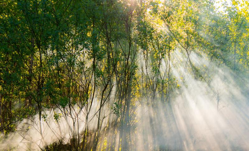 Sun rays of sunrise in a fog. In deep green forest royalty free stock photo