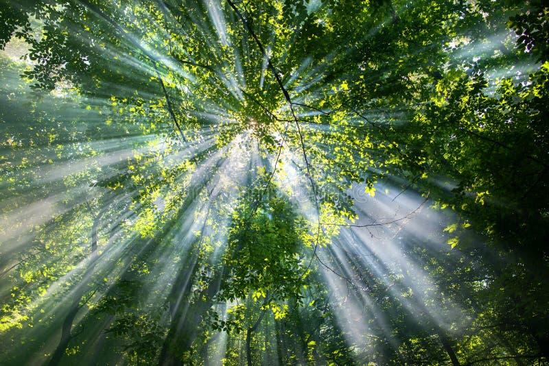 Sun rays through the trees stock photography