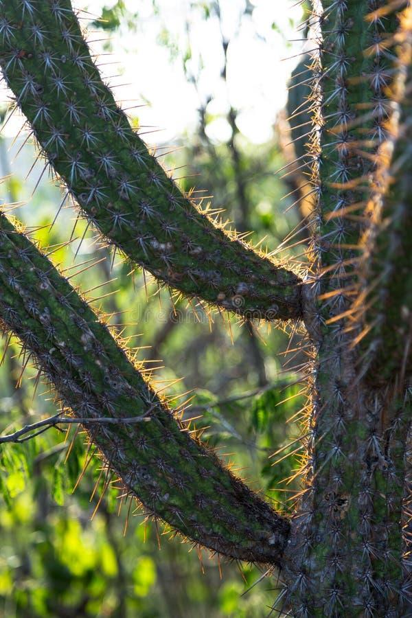 Cactus of Serra da Capivara, PI, Brazil stock images