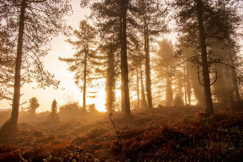 The sun rises over a foggy morning in a forest royalty free stock photography