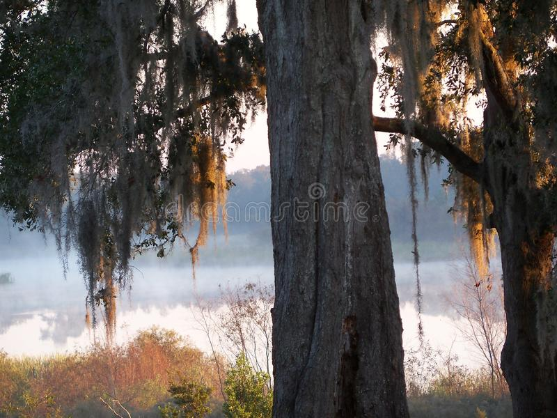 The sun rises on a small lake in Florida. The sun is rising on a small lake in Florida where the golden tinged Spanish moss drips from an oak tree in the stock photo