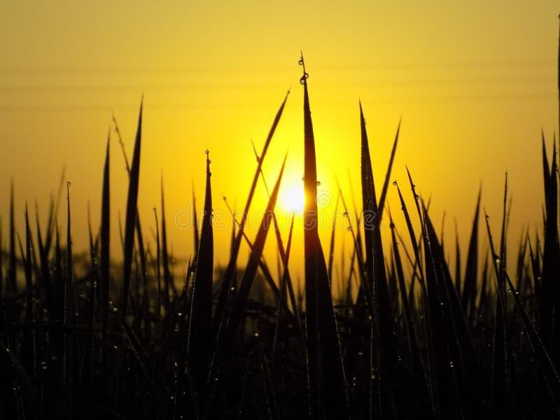 Sun rising between a field. Sun rising seen in morning stock image
