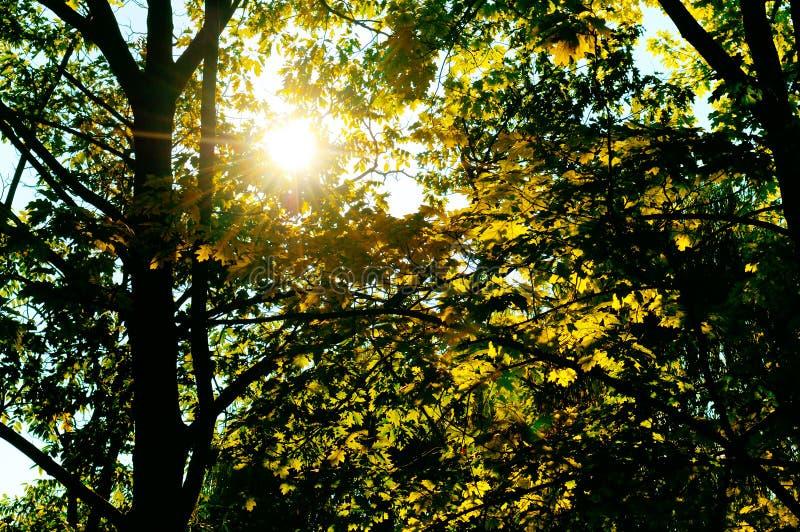 sun& x27; s光芒通过叶子和分支击穿 免版税库存图片