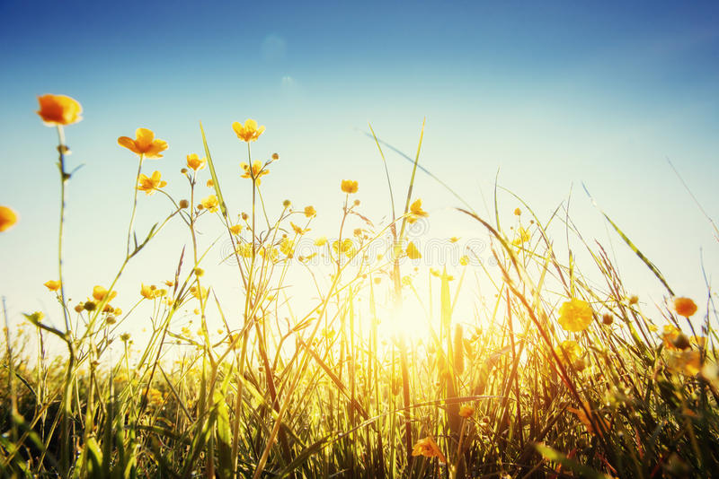 The sun`s rays breaking through the grass. Green Summer Meadow close up stock image