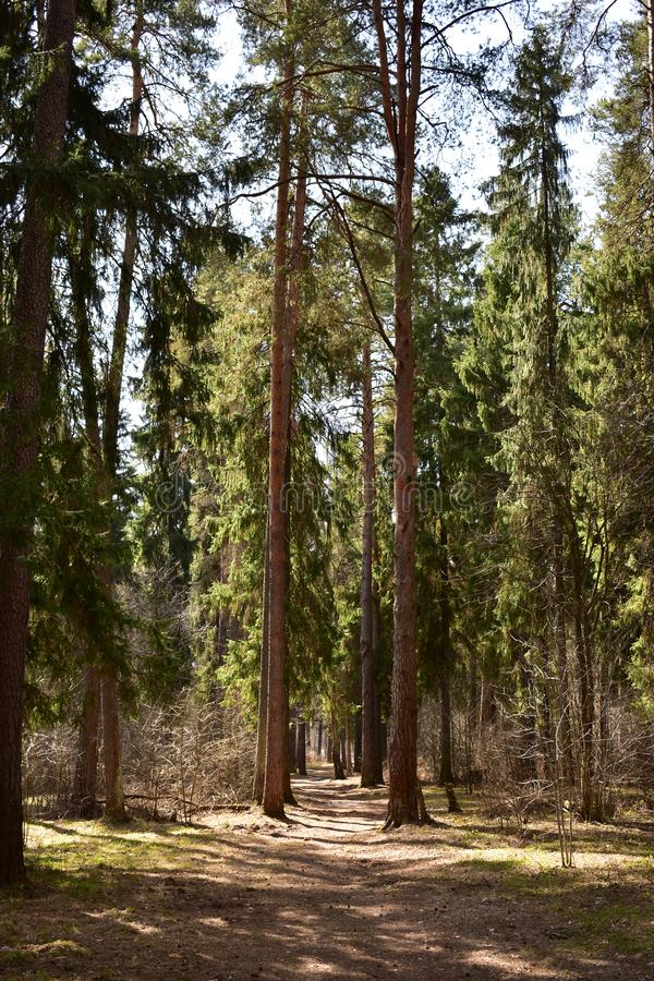 The sun`s rays make their way into the dense coniferous forest. Higher ability to pass the rays have coniferous spruce pine royalty free stock photography