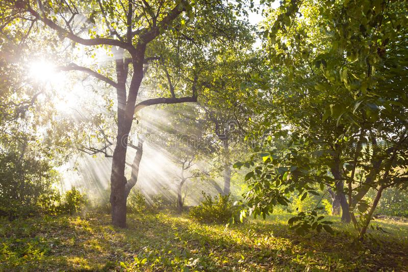 The sun`s rays make their way through the leaves of trees in a  wild forest at sunset or sunrise in summer. Beautiful forest landscape.  The sun`s rays make stock photo
