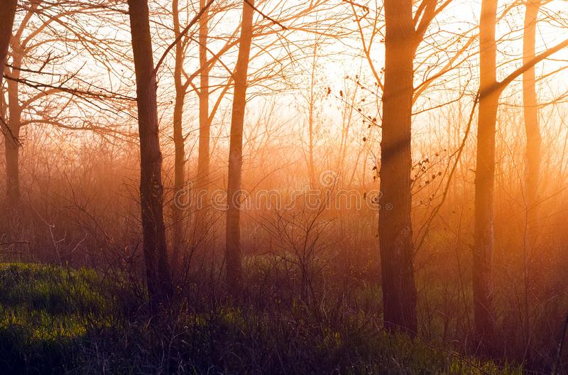 The sun`s rays make their way through the trees in the forest at sunrise, background in orange and green tones.  stock image