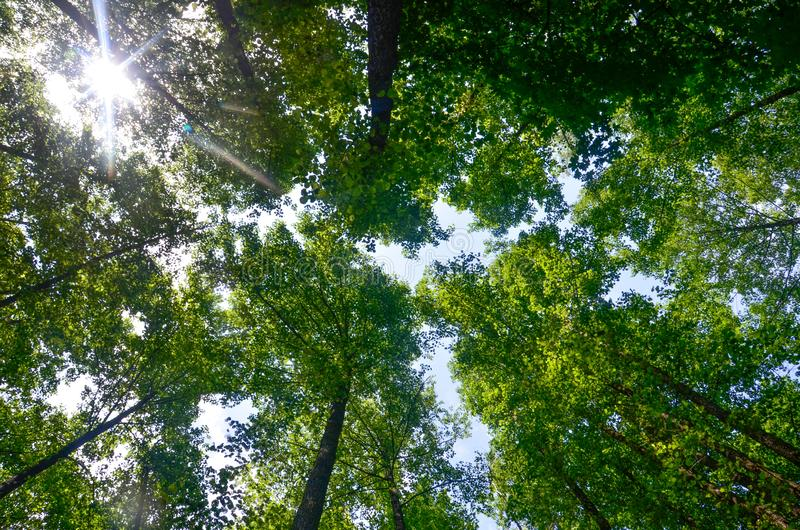 Sun`s rays through the tree tops. Green forest on a Sunny summer day. Trunks of tall trees. Dense forest. Wild forest. Sun`s rays through the tree tops stock images