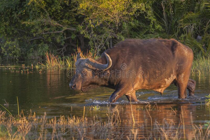 Cape Buffalo Wading through Water royalty free stock photos