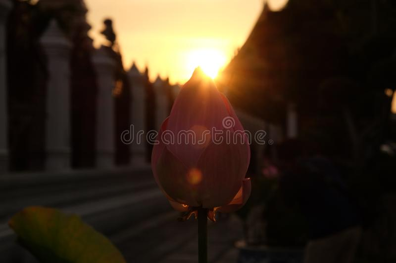 The sun sets behind the pink lotus buds. The rays of the setting sun shine through the foliage.  royalty free stock photos