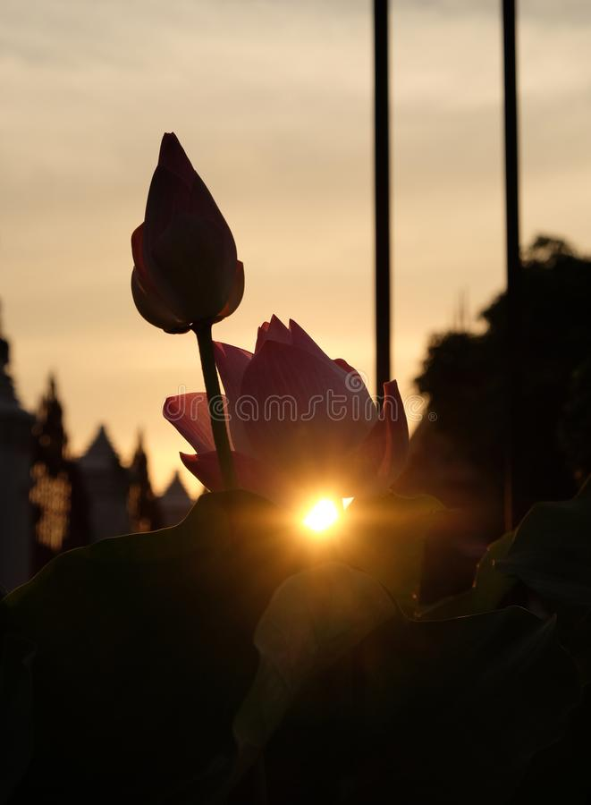 The sun sets behind the pink lotus buds. The rays of the setting sun shine through the foliage.  royalty free stock photo
