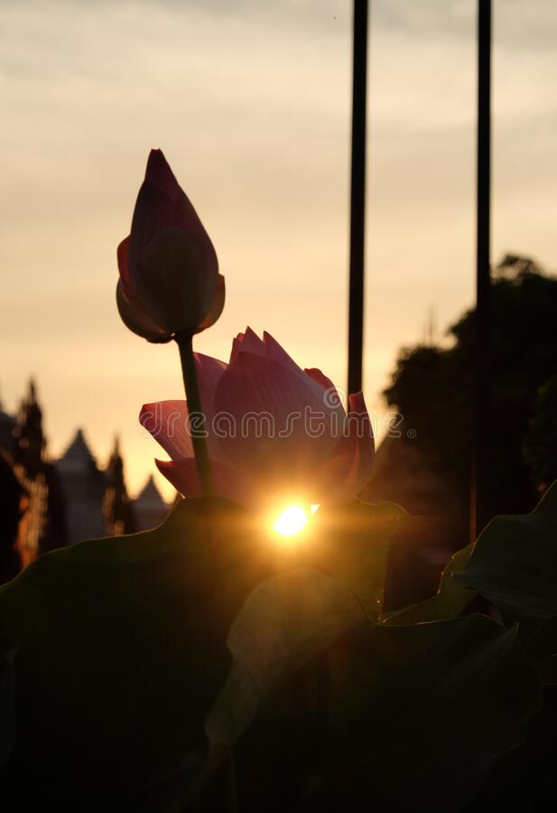 The sun sets behind the pink lotus buds. The rays of the setting sun shine through the foliage.  stock image