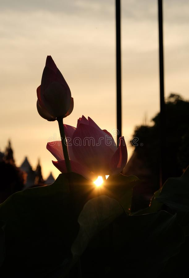 The sun sets behind the pink lotus buds. The rays of the setting sun shine through the foliage.  royalty free stock photography