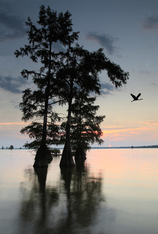 Sun Sets on Lake With Bald Cypress Trees as Blue Heron Flies Over stock image