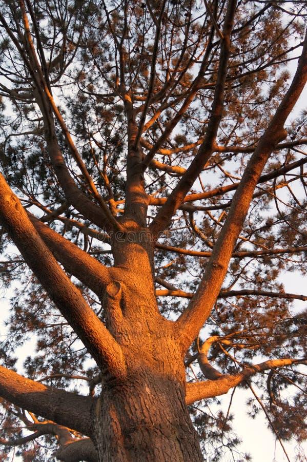 Sunset on large Pine Tree royalty free stock image