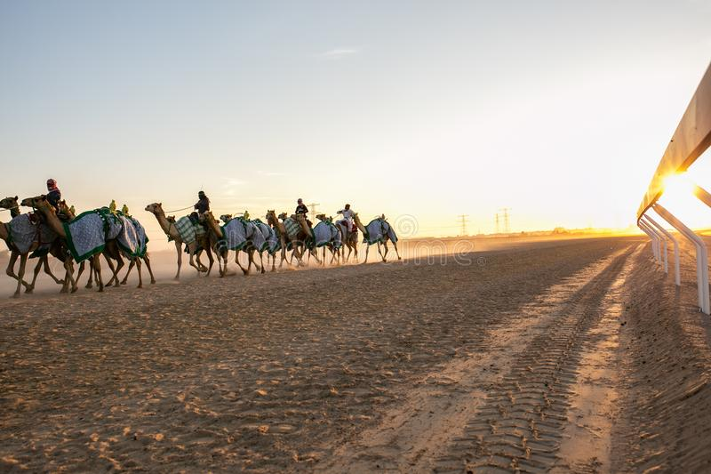 Racing camels in Abu Dhabi royalty free stock photos