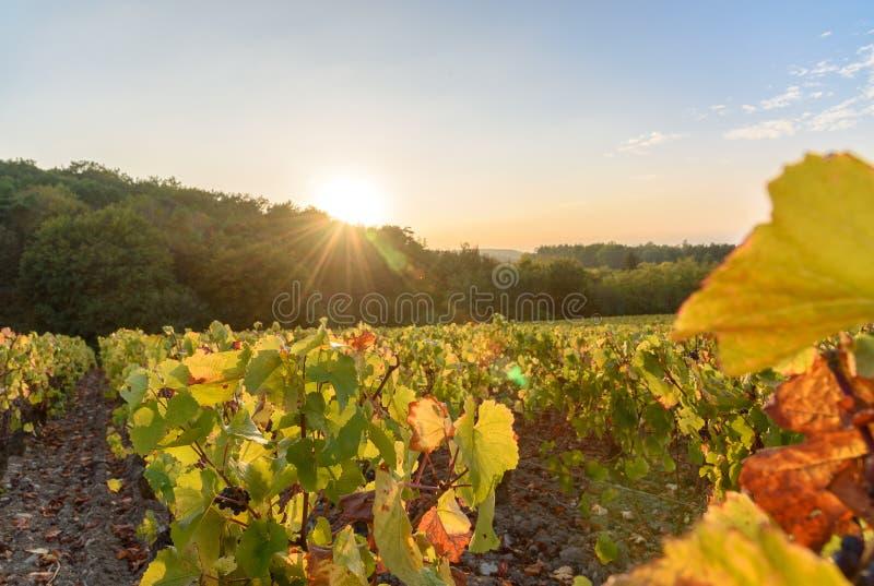 Sun setting over vineyard, close-up of wine ranks royalty free stock photo