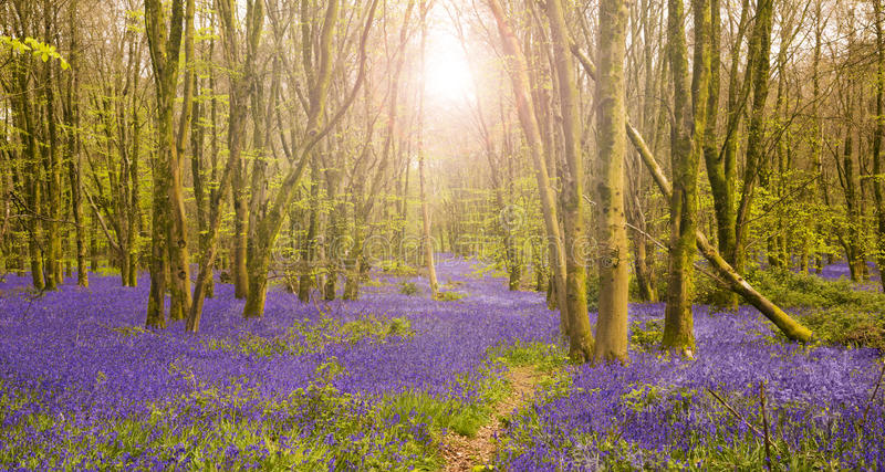 Sun shines through beech trees illuminating a carpet of bluebell. Bright sun casts a glow in dense bluebell woods in Dorset royalty free stock photos