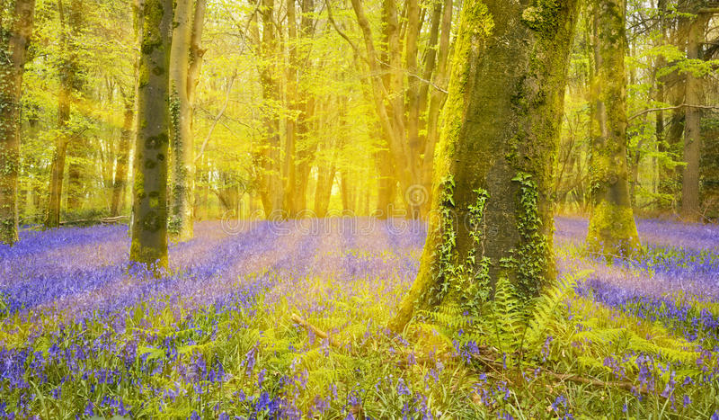 Sun shines through beech trees illuminating a carpet of bluebell. Bright sun casts a glow in dense bluebell woods in Dorset royalty free stock photography