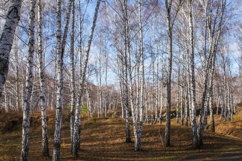 Sun shines on birch tree with branches without leaves against in autumn forest on sunny day. landscape of birch grove stock photos