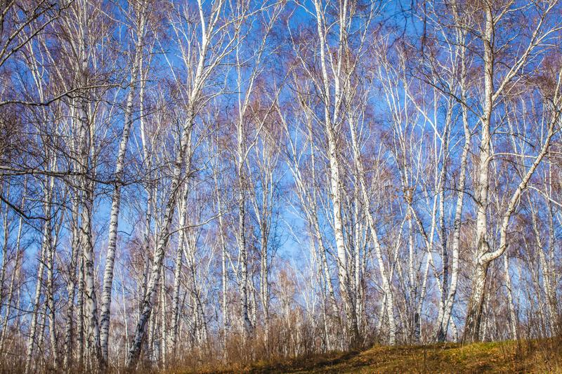 The sun shines on birch tree with branches without leaves against blue sky in autumn forest on a sunny day royalty free stock photos