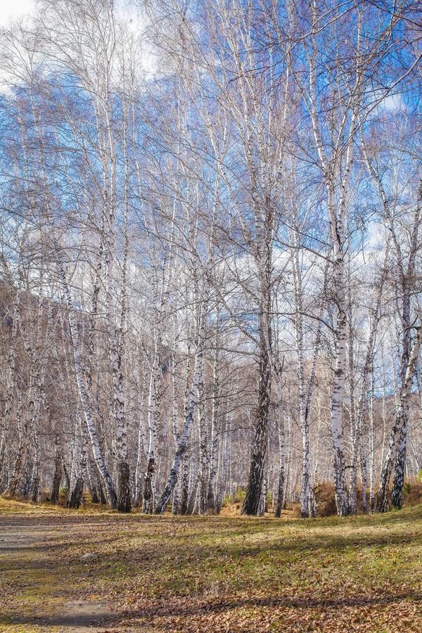 The sun shines on birch tree with branches without leaves against blue sky in autumn forest on a sunny day royalty free stock images
