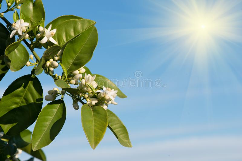 Sun shines on a blossoming branches orange tree. royalty free stock photos
