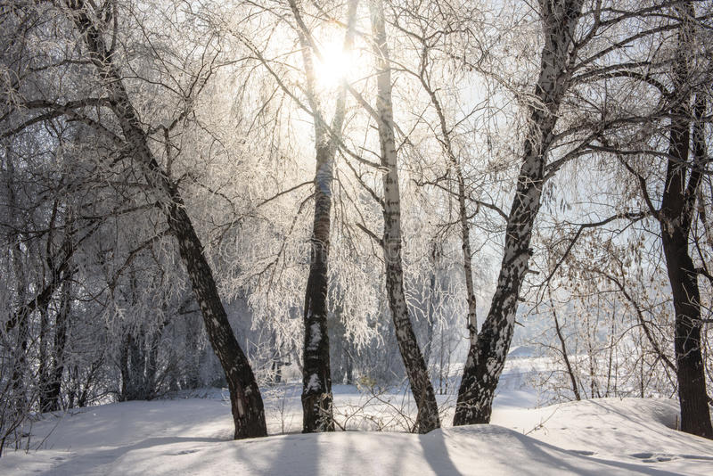The sun shines through the branches of the birch. royalty free stock images
