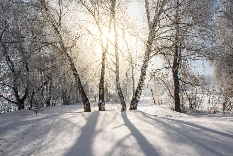 The sun shines through the branches of the birch. royalty free stock photography