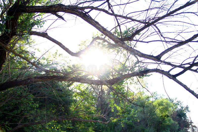 The sun shines through the dry branches of the tree royalty free stock image