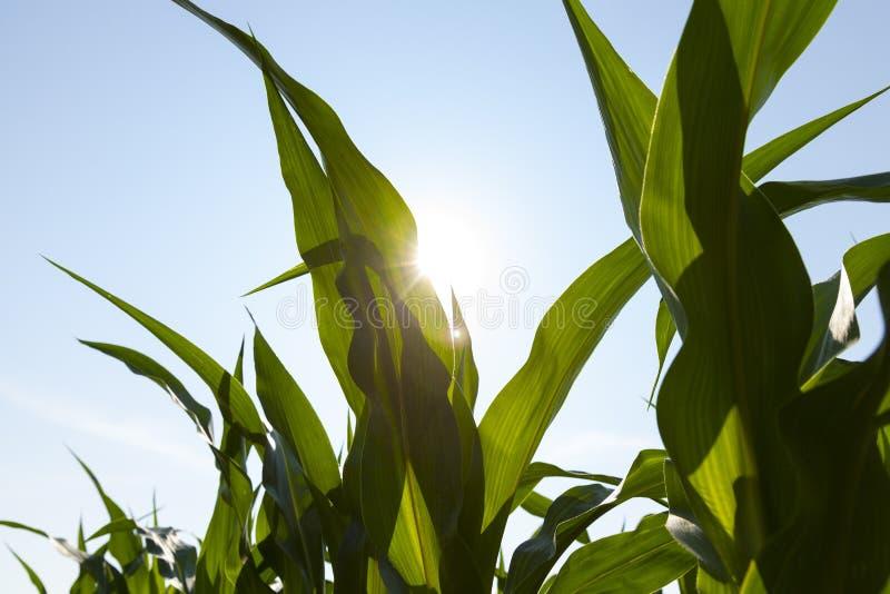 The sun shines through the leaf of a healthy corn leaf.