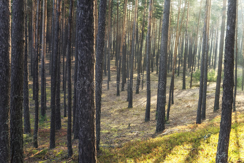 Sun shines in the pine forest royalty free stock photography