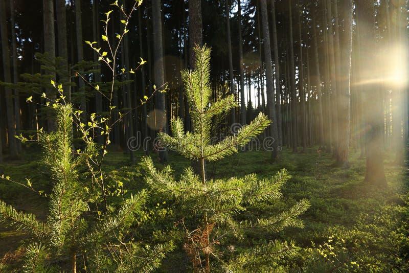 Sun shines on pine stock photography