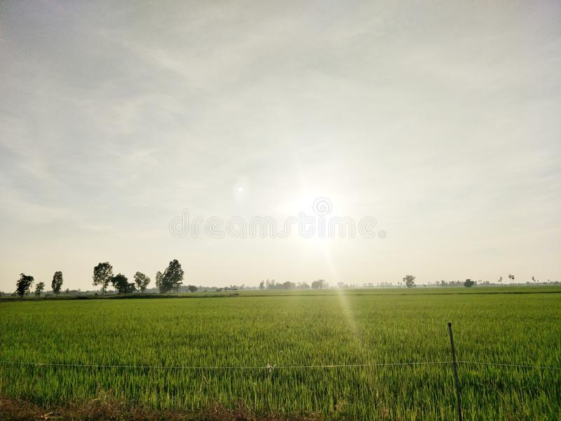 The sun shines through the top of the rice field in the morning field. stock photo