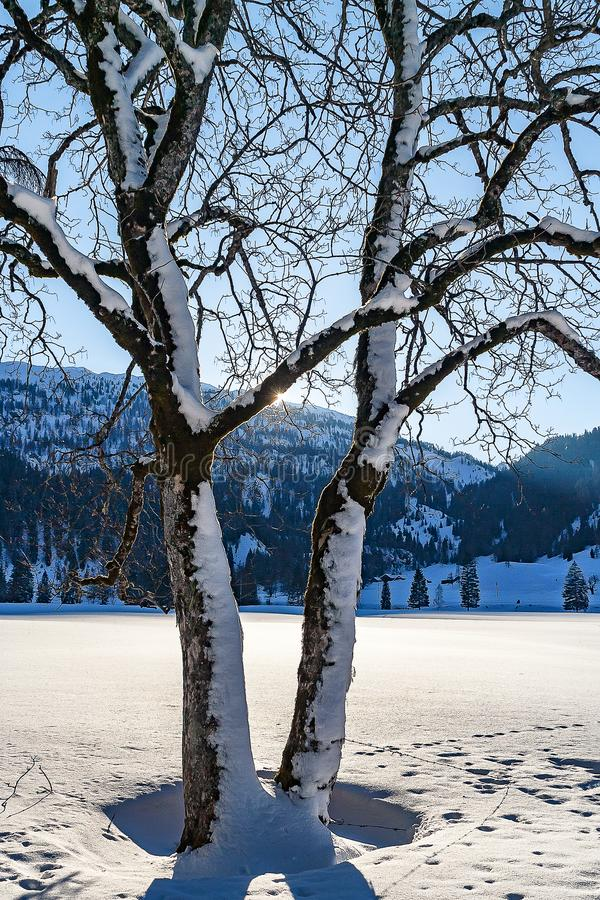 Sun shining behind treetop in a snow landscape-2 royalty free stock photo