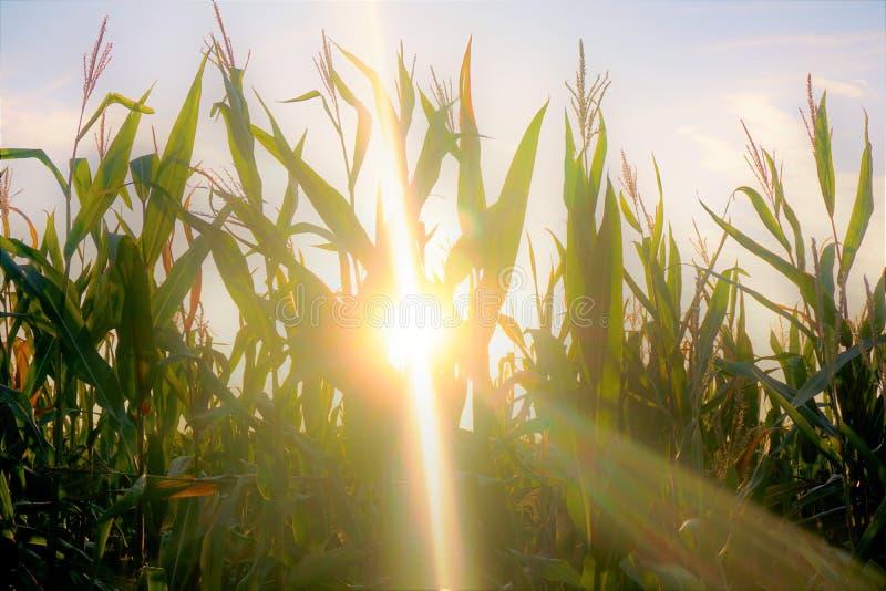 Sun shining through corn field stock image