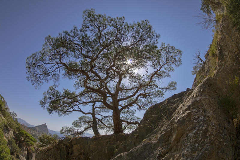Sun shining through the crown of the relic Crimean pine. Fisheye view of the sun shining through the crown of the relic of the Crimean pine royalty free stock photos