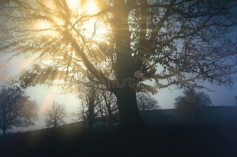 Sun shining through fog in branches of tree on meadow. Sun beams shining through the fog on a misty morning on the meadow. Tree on meadow at sunrise. Misty stock images