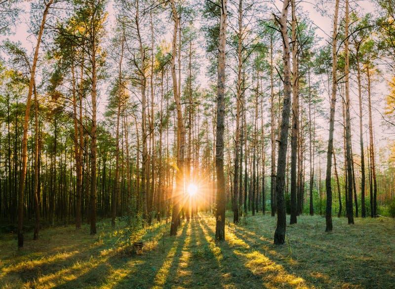 Sun Shining Through Forest Trees Woods. Sunset Sunrise In Summer stock photos