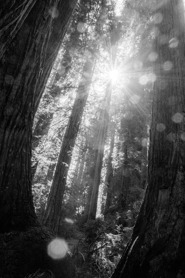 Sun Shining through Giants royalty free stock photography