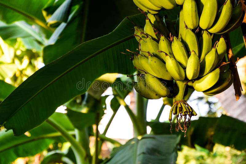 The sun is shining into the green banana on the banana tree in the evening. Agriculture, asian, background, bananas, botanical, botany, branch, bunch, close-up royalty free stock photography
