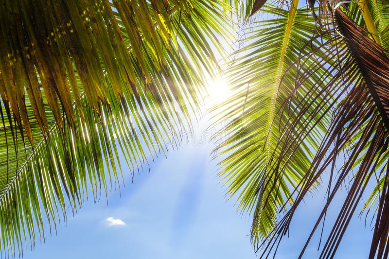 Sun shining through leaves of palm tree stock images