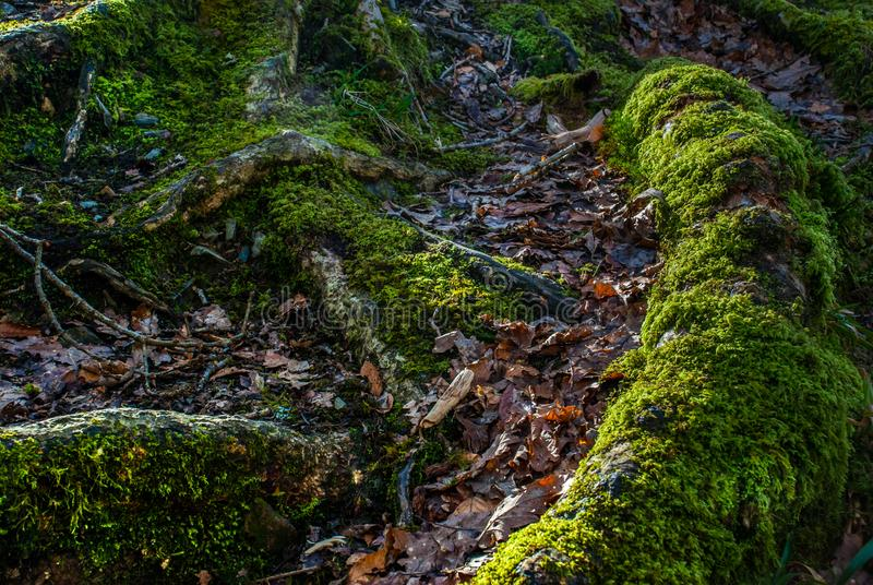 The Sun is shining through Mighty Old Beech Tree in Green Forest, Moss Covered Roots stock images