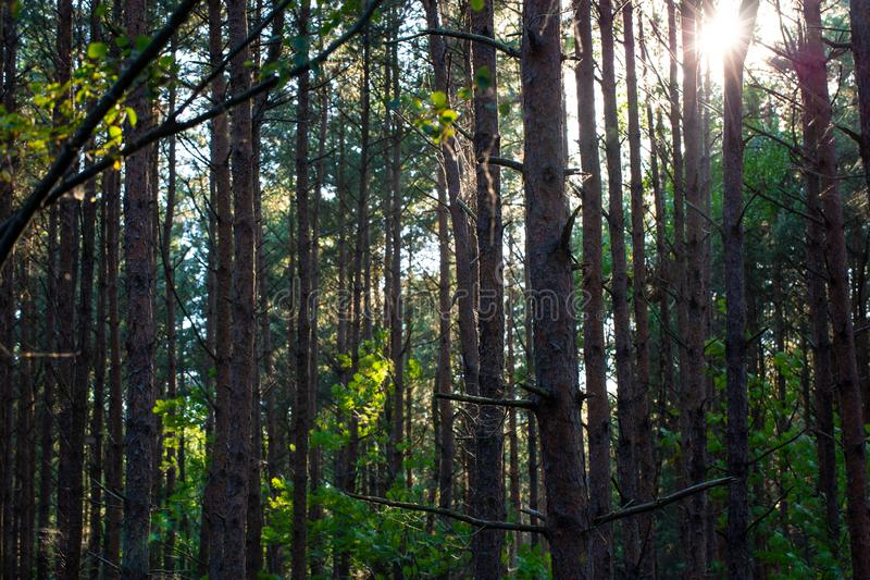 Mixed forest. The sun shining through a mixed forest royalty free stock photo