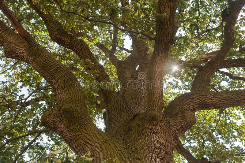 Sun shining through the oak tree crown. View up to the tree top of a huge oak tree with the sun shining through the branches stock photos