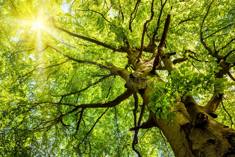 Sun shining through an old beech tree. The warm spring sun shining through the treetop of an impressive old beech tree royalty free stock image