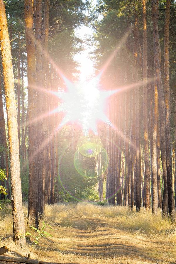 Sun Shining Over Forest Lane, Country Road, Path, Walkway Through Pine Forest. Sunset Sunrise In Summer Forest Trees. The sun shines over the forest, the stock image