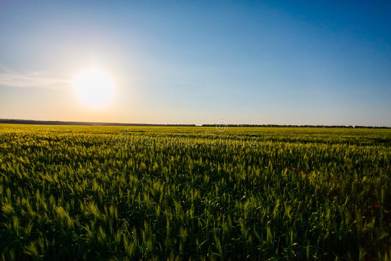 Sun shining over green grain field. Rural landscape. Nature in May stock photography