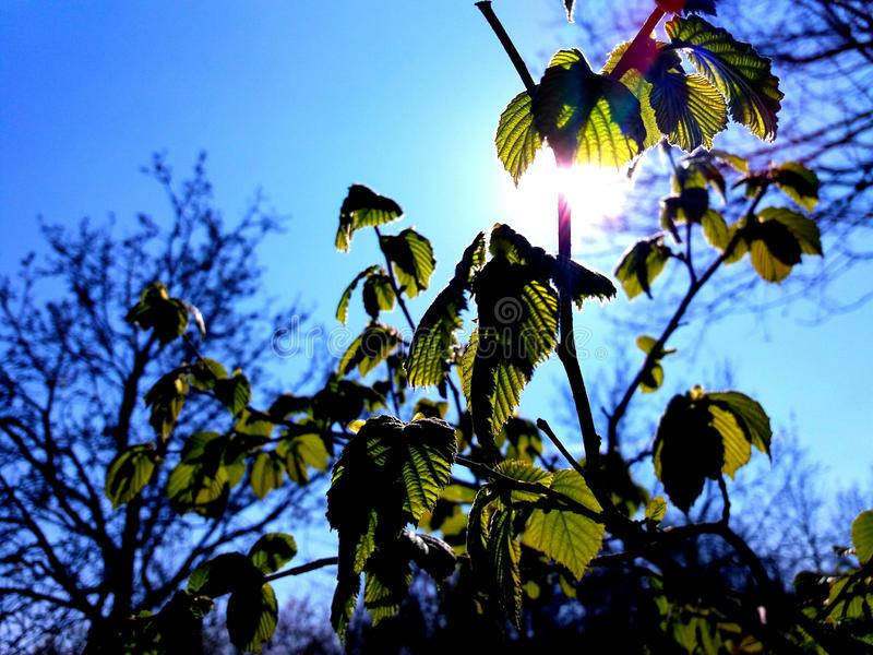 The Sun Shining Over A Small Hazelnut Tree. With the blue sky in the background. Spring stock images