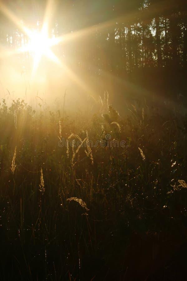 Sun shining through pine wood stock image
